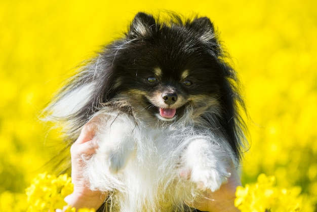 Pomeranian dog on yellow field of rape flowers