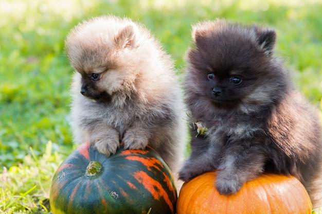 Померанские собаки и тыква