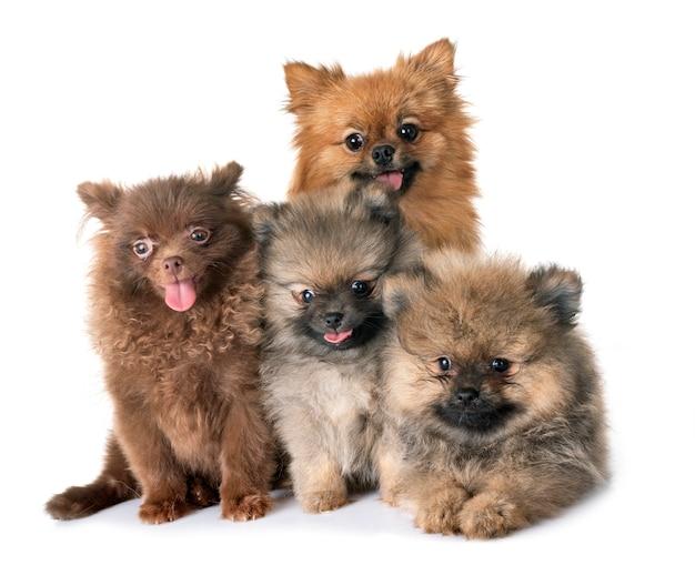 Pomeranian family in studio