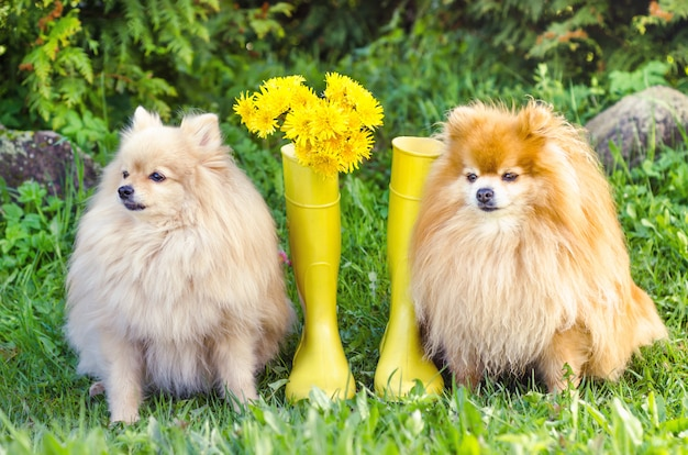 Pomeranian and german spitz are sitting near yellow rubber boots