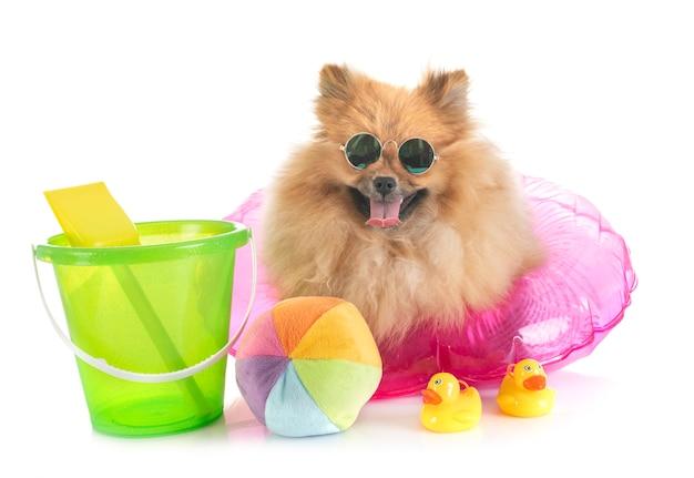 Pomeranian in holidays