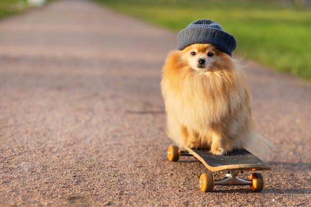 道路上のスケートボードに乗って帽子をかぶったポメラニアン
