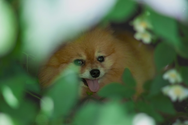 The pomeranian mini is lying in the bushes hiding from the heat and sticking out its tongue.
