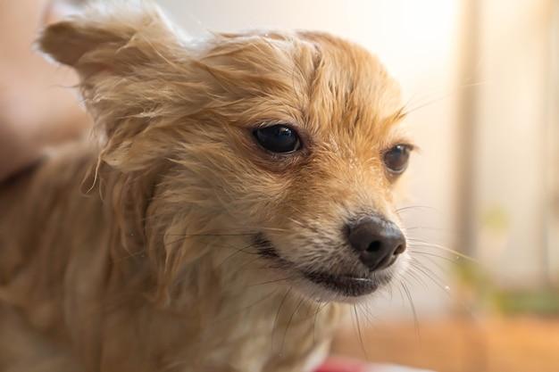 ポメラニアンまたは小型犬の品種は、所有者によってシャワーを浴びて、コンクリートの床に置く赤いバケツに立っていました