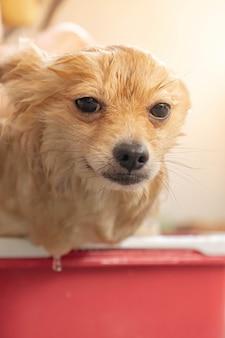 ポメラニアンまたは小型犬の品種は、飼い主によってシャワーを浴びて、赤いバケツに立っていました