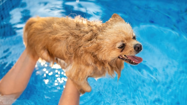 Pomeranian in the owner's hands in a pool