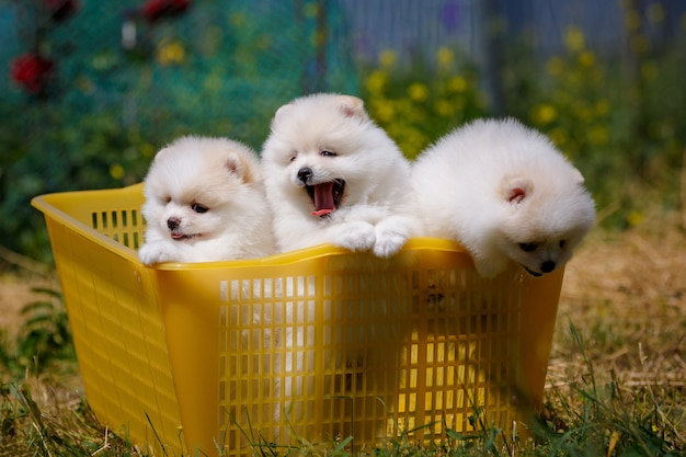 Pomeranian puppies are sitting in a basket in the garden, and want to run away