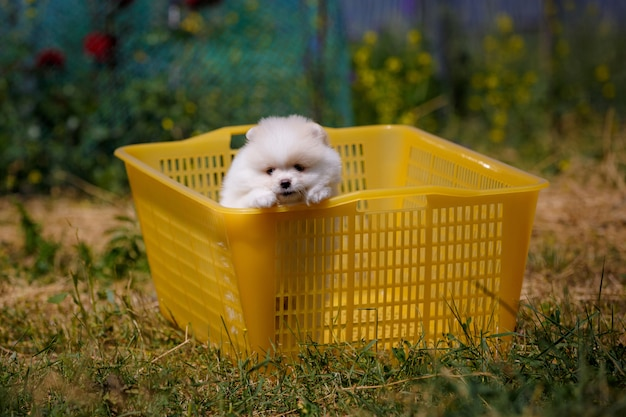 Pomeranian puppy is sitting in a basket in the garden and wants to run away.