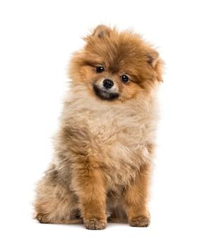 座っているポメラニアンの子犬、白で隔離