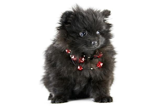 포메라니안 강아지 스피츠, 절연. 빨간 구슬을 가진 귀여운 검은 포메라니안
