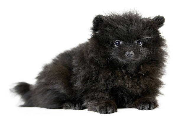 포메라니안 강아지 스피츠, 절연. 귀여운 블랙 포메라니안