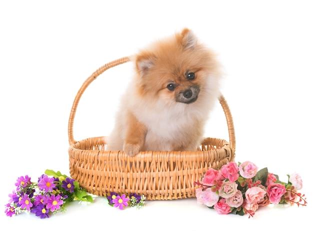 Pomeranian puppy in studio
