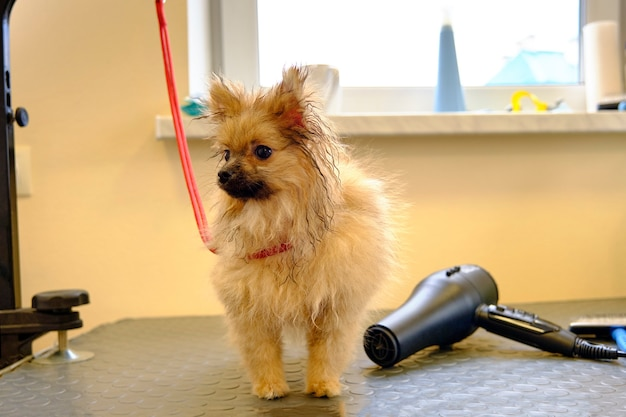 A pomeranian puppy with wet fur on the table next to a hair dryer for drying animals.