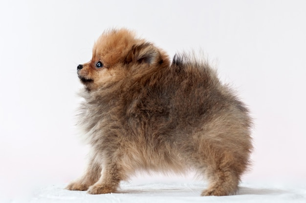Pomeranian sable furry stands on the left side bear boo raised his head up on white background