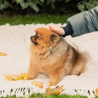 ポメラニアンは人から目をそらすことで恨みを示す女性が犬を手で撫でる