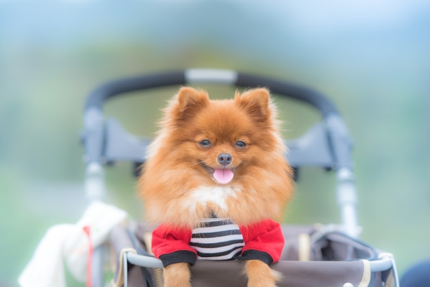 Pomeranian sitting in the cradle outdoors.