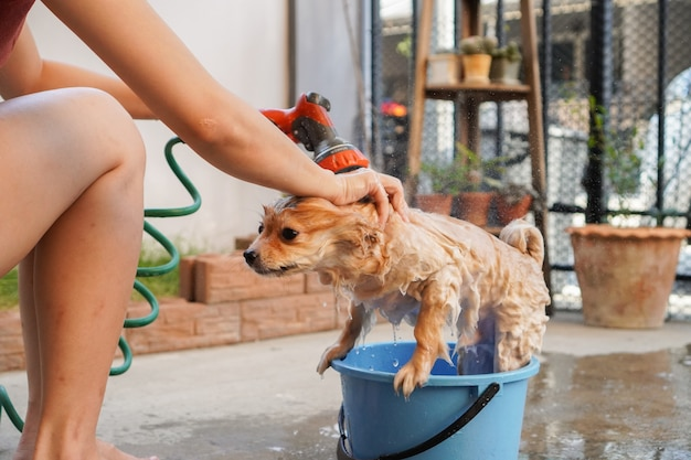 Pomeranian or small dog breed was taken shower by owner and stood on a concrete floor
