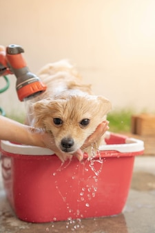 Pomeranian or small dog breed was taken shower by owner and stood in red bucket