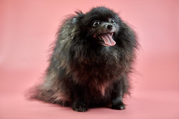 ポメラニアンスピッツの黒い子犬。ピンクの背景にかわいいふわふわスピッツ犬。舌がぶら下がっている家族向けの小さなドワーフスピッツポメラニアン。