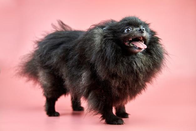 Pomeranian spitz black puppy