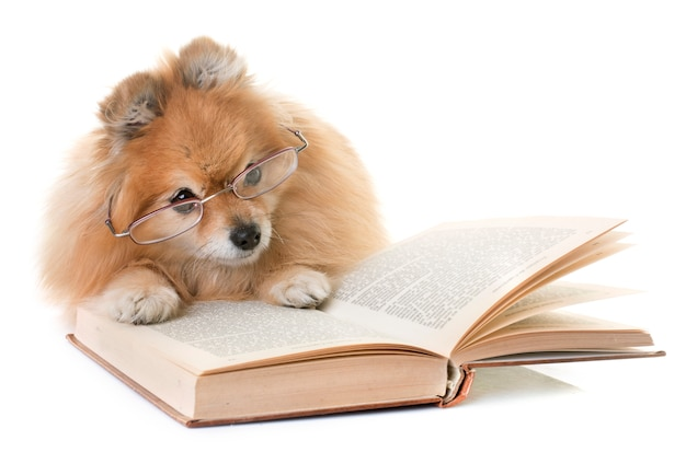 Pomeranian spitz and books