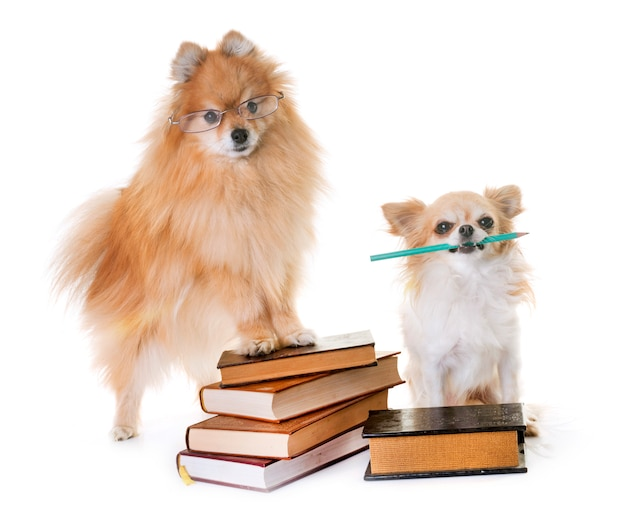 Pomeranian spitz, chihuahua and books