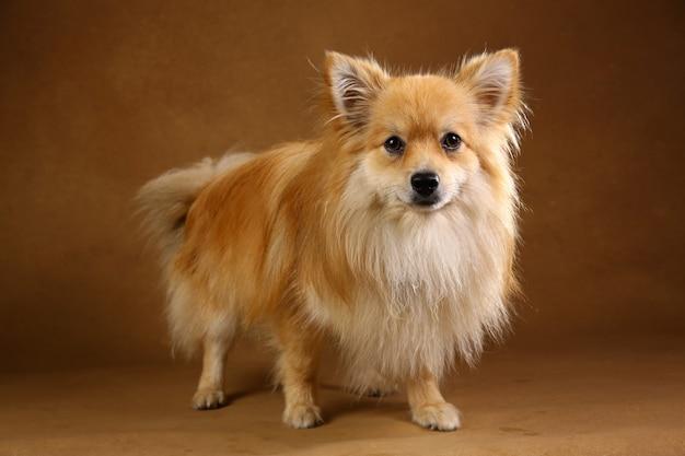 Pomeranian spitz dog on brown background in studio