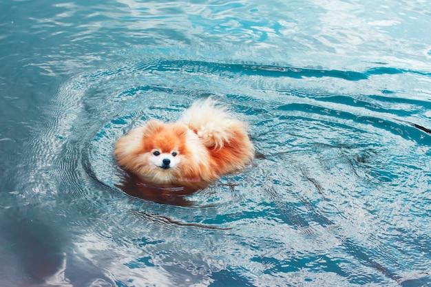Pomeranian spitz dog, cute little puppy swimming in water