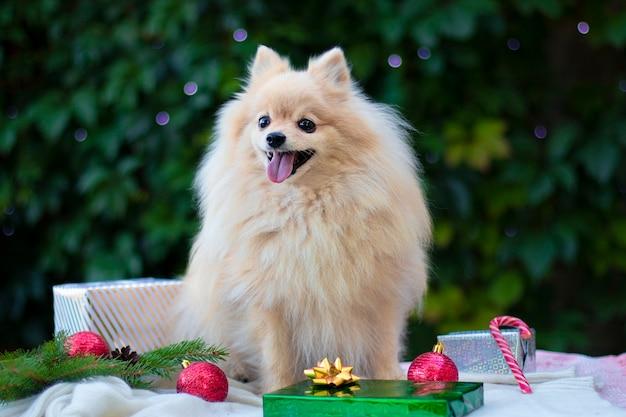 クリスマスの設定でポメラニアンスピッツ犬
