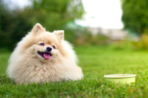 草の上に横たわるポメラニアンスピッツ犬