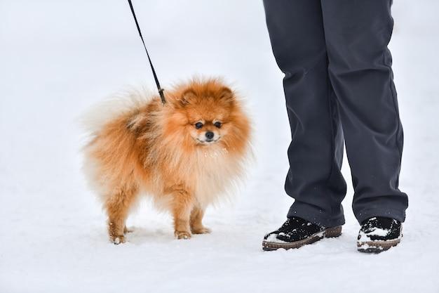 Померанский шпиц, довольно маленькая собака, зимний открытый фон. шпиц гуляет с хозяином.