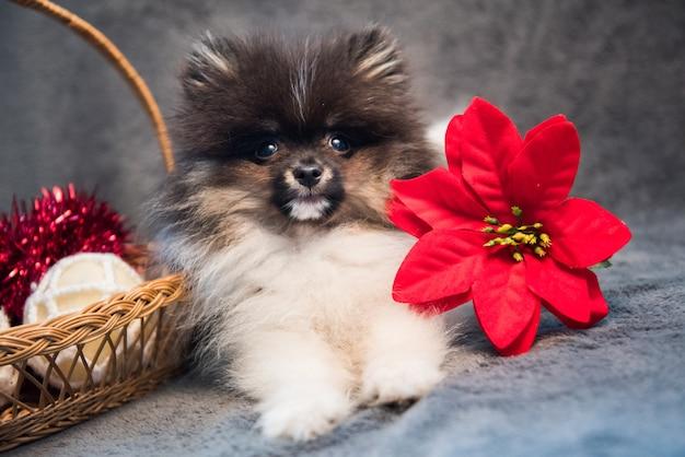 ポメラニアンスピッツ犬の子犬と花