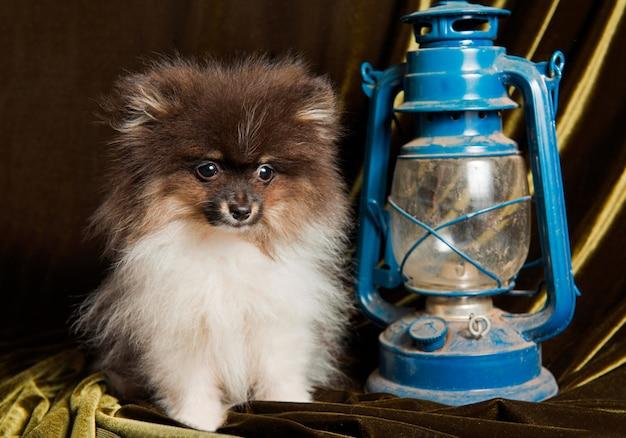 ポメラニアンスピッツ犬の子犬とランタン