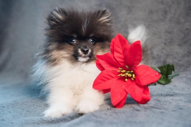 ポメラニアンスピッツ犬の子犬と赤い花