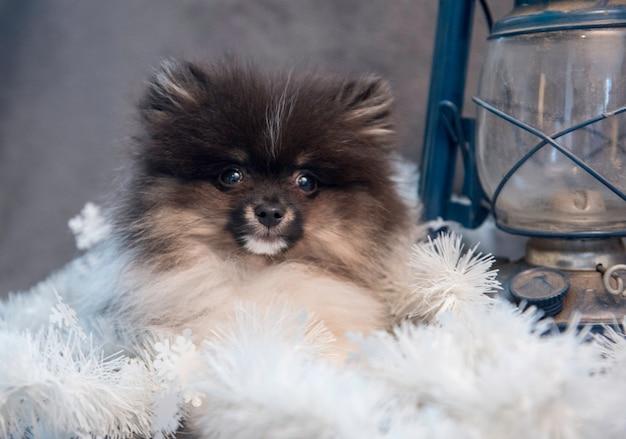 花輪とランタンのポメラニアンスピッツ犬子犬
