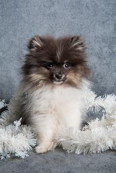화환, 크리스마스 카드 또는 새해 배경에 포메라니안 스피츠 강아지 강아지
