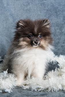 花輪のポメラニアンスピッツ犬子犬