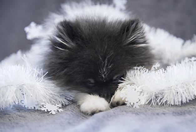 ポメラニアンスピッツ犬の子犬が花輪で眠っています。