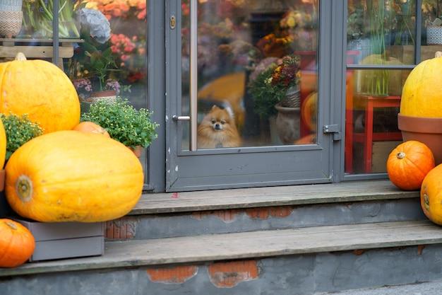 유리문 가을 시즌 뒤에 호박이 있는 꽃집 안에 앉아 있는 포메라니안 스피츠 개