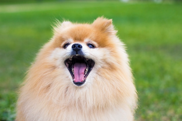 Pomeranian spitz dog with open wide mouth on green grass.