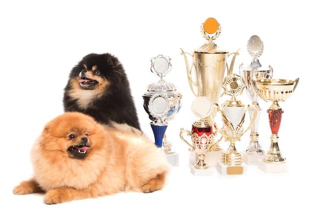優勝カップのポメラニアンスピッツ犬