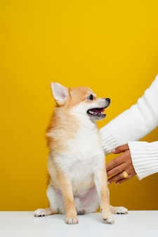 The pomeranian spitz is cute and fluffy. portrait of a cute, fluffy pomeranian spitz puppy. play with the boss on a modern bright yellow background empty space for text