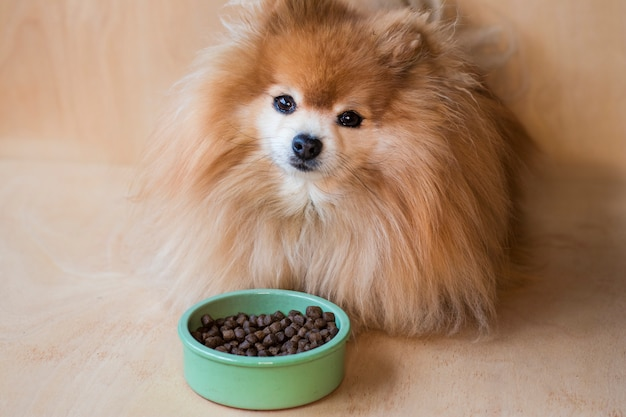 Pomeranian spitz is eating. pet dry food in a ceramic green bowl on pastel blue light with dog paws, fluffy legs.