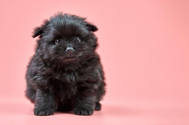 ポメラニアンスピッツ子犬、コピースペース。ピンクの背景にかわいいふわふわの黒いスピッツ犬。家族向けの小さなドワーフ-スピッツポメラニアン。
