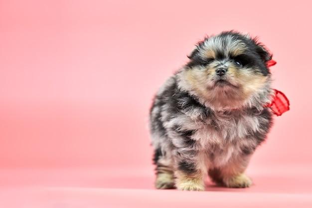ポメラニアンスピッツの子犬、コピースペース。ピンクの背景にかわいいふわふわの三色スピッツ犬。
