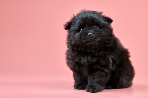Pomeranian spitz puppy, copy space on pink wall