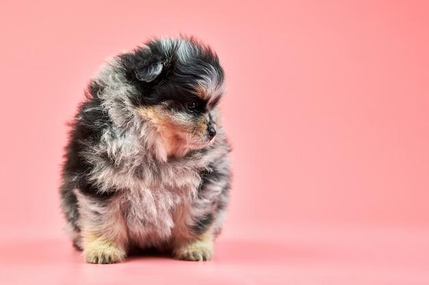 Pomeranian spitz puppy on pink wall