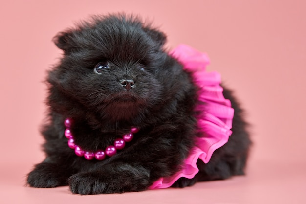Pomeranian spitz puppy in skirt with beads