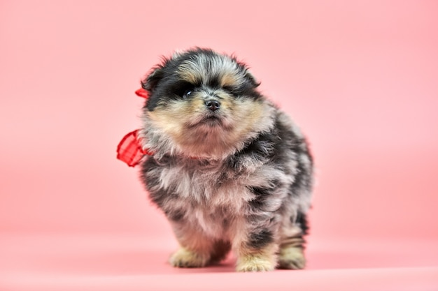 Pomeranian spitz puppy