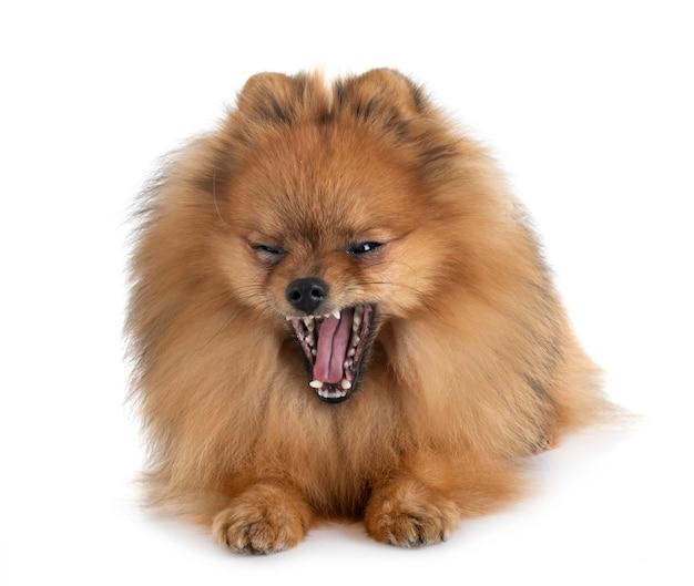 Pomeranian in studio